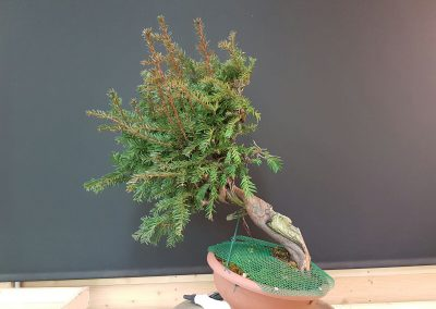 4. Taxus Baccata_2