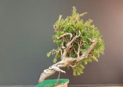 4. Taxus Baccata_3