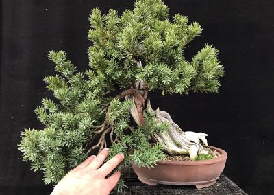 6_Taxus_A